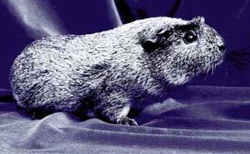 Морская свинка, фото фотография, грызуны