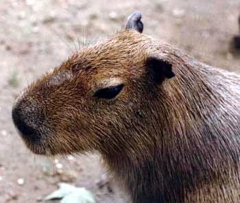 Капибара, или водосвинка (Hydrochoerus hydrochaeris) голова, фото фотография, водосвинковые грызуны