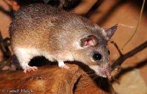 акомис, египетская иглистая мышь, каирская иглистая мышь (Acomys cahirinus), фото, фотография с