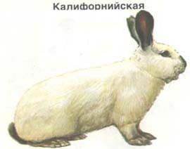 калифорнийский, кролик, породы кроликов, рисунок