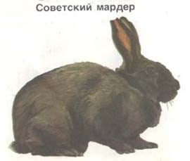 советский мардер, кролик, породы кроликов, рисунок