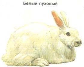 белый пуховой, кролик, породы кроликов, рисунок