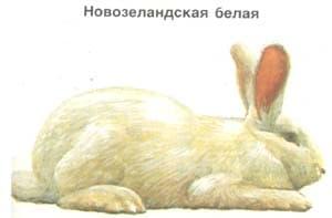 новозеландская белая, кролик, породы кроликов, рисунок