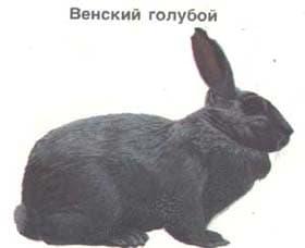 венский голубой, кролик, породы кроликов, рисунок