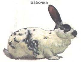 бабочка, кролик, породы кроликов, рисунок