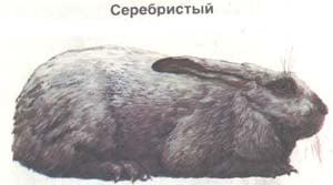 серебристый, кролик, породы кроликов, рисунок