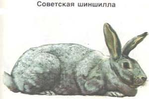 советская шиншилла, кролик, породы кроликов, рисунок
