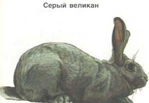 серый великан, породы кроликов, рисунок
