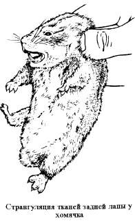 странгуляция тканей задней лапы у хомячка, рисунок, картинка