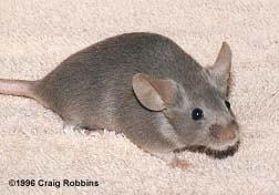 Мышь, фото фотография, грызуны