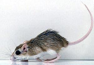 акомис, египетская иглистая мышь, каирская иглистая мышь (Acomys cahirinus), фото, фотография с http://dkimages.com