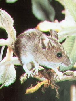 хомячок белоногий, белоногий хомячок (Peromyscus leucopus), фото, фотография
