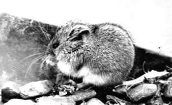 Плоскочерепная полевка, скальная полевка (Alticola strelzowi), черно-белое фото фотография грызуны
