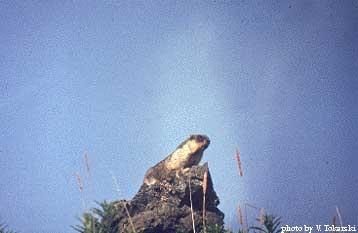 черношапочный сурок, сурок черношапочный (Marmota camtschatica), фото, фотография