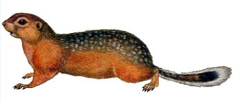 Длиннохвостый суслик, азиатский длиннохвостый суслик, суслик Эверсмана (Spermophilus undulatus, Citellus undulatus), рисунок картинка грызуны