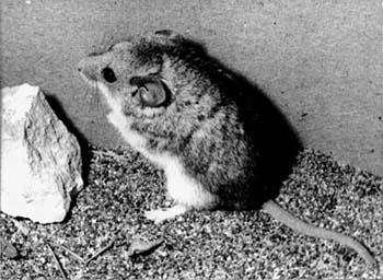 Мышевидная соня, соня мышевидная (Myomimus personatus), черно-белое фото фотография грызуны
