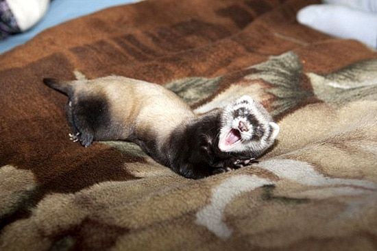 Зевающий домашний хорек фуро, фото фотография изображение