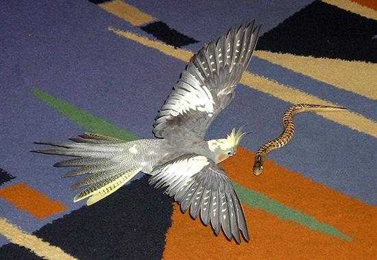 Попугай корелла нападает на змею, фото попугаи фотографии птицы