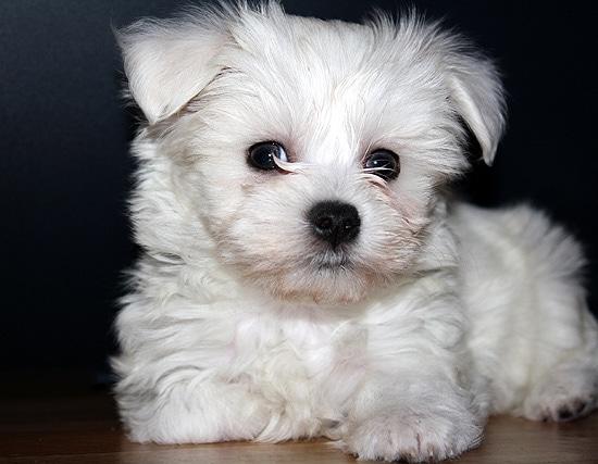 Щенок мальтийской болонки (мальтезе), породы собак собаки фото фотография