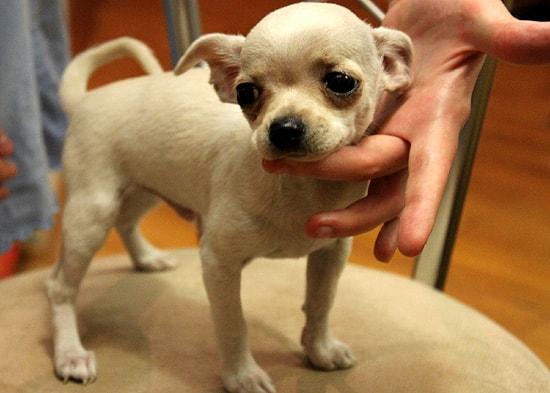 Гладкошерстный чихуахуа породы собак