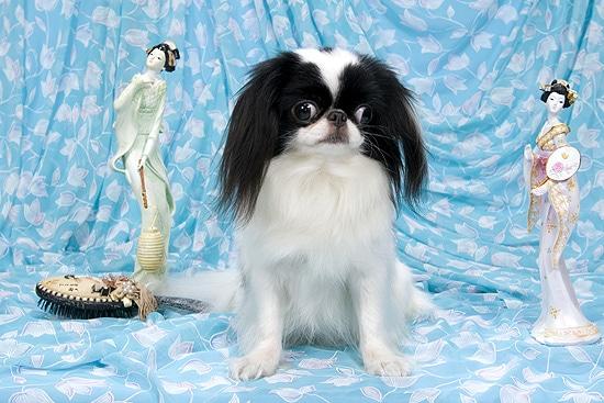 Японский хин Омикудзи Цунами, миниатюрные породы собак хин, фото фотография изображение