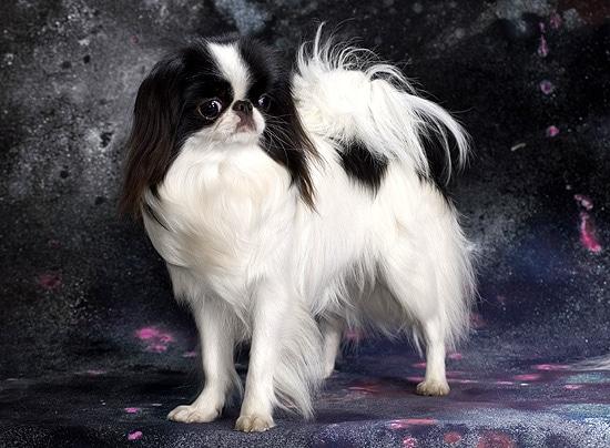 Японский хин, карликовые породы собак, фото фотография изображение