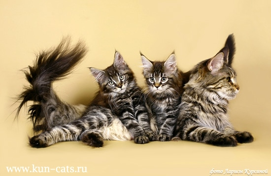 фото мейн-кун породы кошек