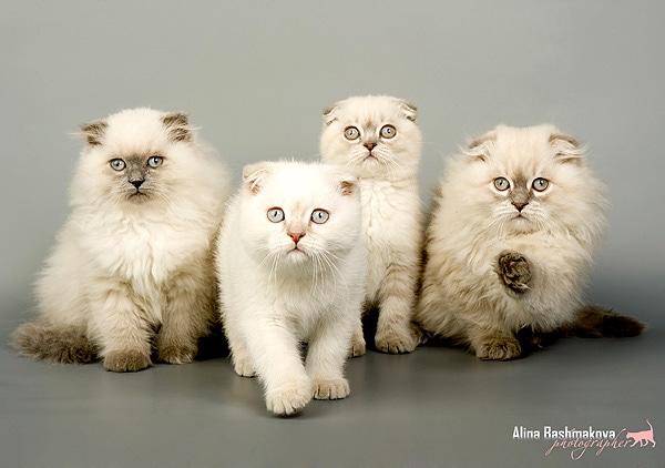Скоттиш-фолд, шотландская вислоухая кошка, породы кошек кошки фото фотография