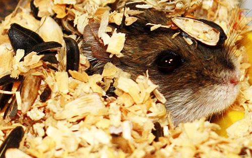Джунгарский хомяк хомячок, фото грызуны фотография