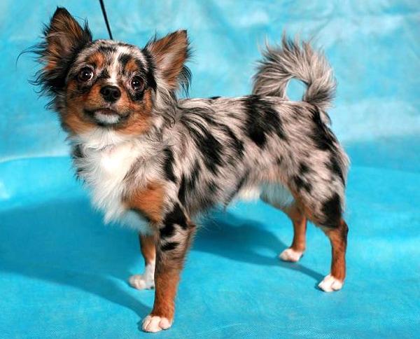 Динношерстная чихуахуа, фото собаки породы собак фотография
