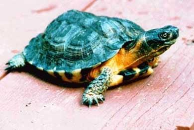 Черепаха, фото фотография, рептилии