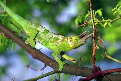 Трехрогий хамелеон, хамелеон Джексона (Chameleon jacksoni), фото, фотография