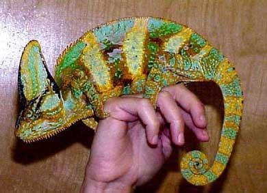 Хамелеон, фото фотография, рептилии пресмыкающиеся