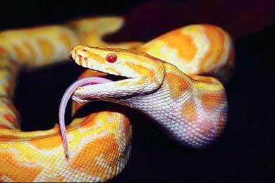 Питон, фото фотография, рептилии пресмыкающиеся, змеи - родственники древних ящуров