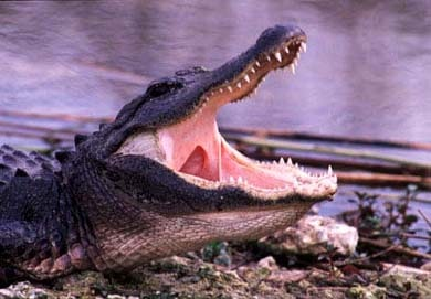Крокодил, фотография фото, рептилии пресмыкающиеся