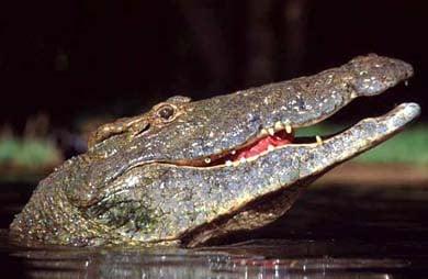 Крокодил, фото фотография, рептилии пресмыкающиеся