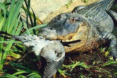 Крокодил, фото фотография, рептилии пресмыкающиеся, Что кушает за обедом крокодил?