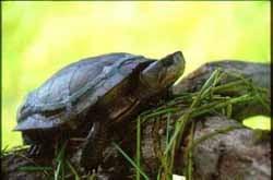 мраморная черепаха, черепаха мраморная (Clemmys marmorata), фото, фотография