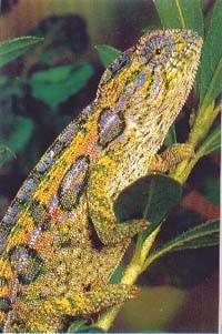 ковровый хамелеон (Chamaeleo lateralis), фото, фотография