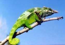 хамелеон Фишера (Chamaeleo fisheri), фото, фотография