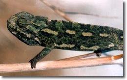 обыкновенный хамелеон, европейский хамелеон (Chamaeleo chamaeleon), фото, фотография