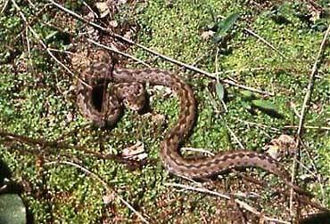 степная гадюка, гадюка степная (Vipera ursinii), фото, фотография