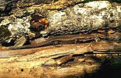 живородящая ящерица, ящерица живородящая (Lacerta vivipara), фото, фотография