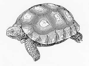 аргентинская черепаха, черепаха аргентинская (Chelonoidis chilensis, Geochelone chilensis), картинка, рисунок