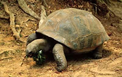 слоновая черепаха, галапагосская черепаха (Chelonoidis elephantopus, Geochelone elephantopus), фото, фотография