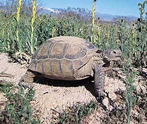 пустынный западный гофер, пустынная черепаха (Gopherus agassizii), фото, фотография