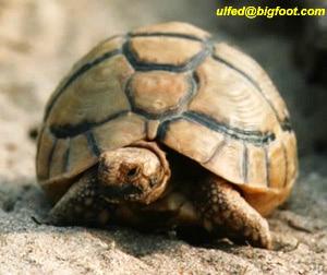 египетская черепаха, черепаха египетская (Testudo kleimanni), фото, фотография
