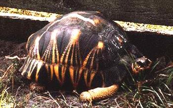 лучистая черепаха, черепаха лучистая (Asterochelys radiata, Geochelone radiata), фото, фотография