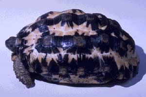 Плоскохвостая черепаха, капидоло (Acinixys planicauda, Pyxis planicauda), фото, фотография
