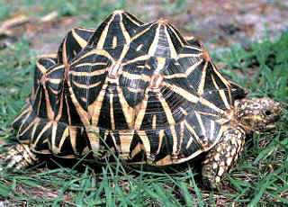 звездчатая черепаха, индийская звездчатая черепаха (Geochelone elegans), фото, фотография